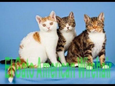 El Gato American Wirehair - Razas de gatos