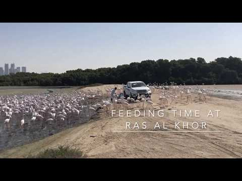 Greater Flamingos Feeding Time at Ras Al Khor, Wildlife Sanctuary, Dubai, UAE, Middle East