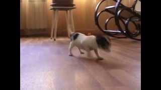 Фильм чихуахуа щенки