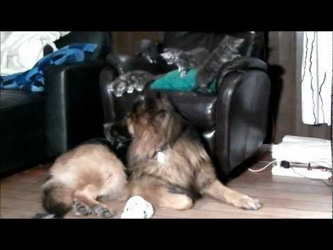Maine coon kittens abusing German Shepherd dogs!