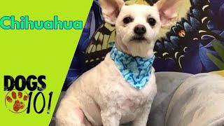 Dog 101 Chihuahua