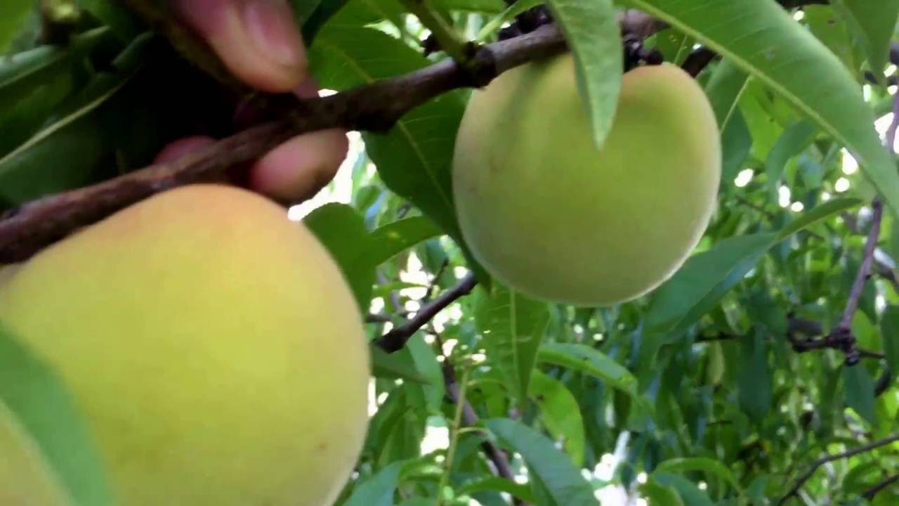 backyard fruit trees 2016 youtube