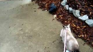 Cat & Dog Walking - Our Schnauzer & Our Snowshoe Calico Point Siamese