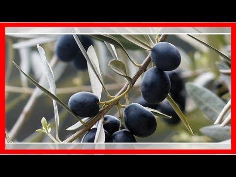 Olivenbaum Schneiden Anleitung : olivenbaum schneiden zeitpunkt und schritt f r schritt anleitung youtube ~ Yuntae.com Dekorationen Ideen