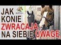 Jak konie zwracają na siebie uwagę