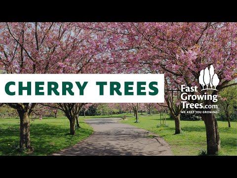 Flowering Cherry Trees Fastgrowingtrees You
