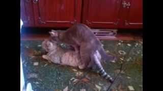 Кошки лезбиянки