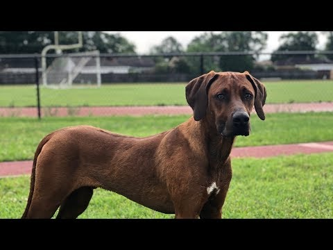A Little Rain Won't Stop This Pup - Tex The Rhodesian Ridgeback