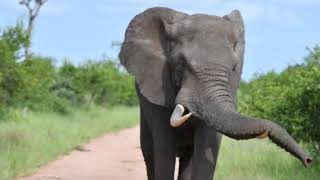 Bull elephant in musth pushing us. KRUGER SUNSET LODGE I SAFARI HIGHLIGHTS #30