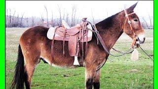 ЛОШАК-ГИБРИД ОСЛИЦЫ И ЖЕРЕБЦА(самка осла + самец лошади).СЕРИАЛ:ЖИВОТНЫЕ-ГИБРИДЫ.