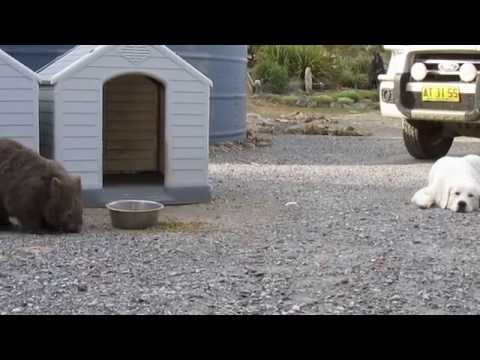 Wombats protected by Maremma dog at the sanctuary