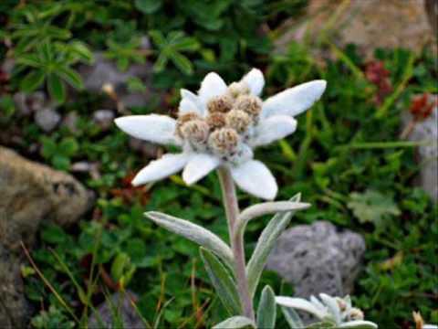 """""""Edelweiss"""" - André Rieu"""