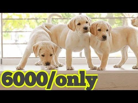 Labrador and beagle puppy for sale