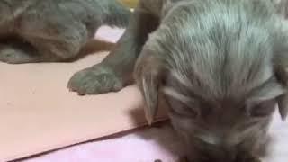 https://www.breeder-navi.jp/weimaraner/dog/63534 子犬販売ならブリー...
