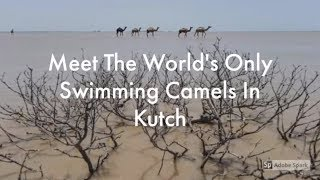 Meet The World's Only Swimming Camels In Kutch