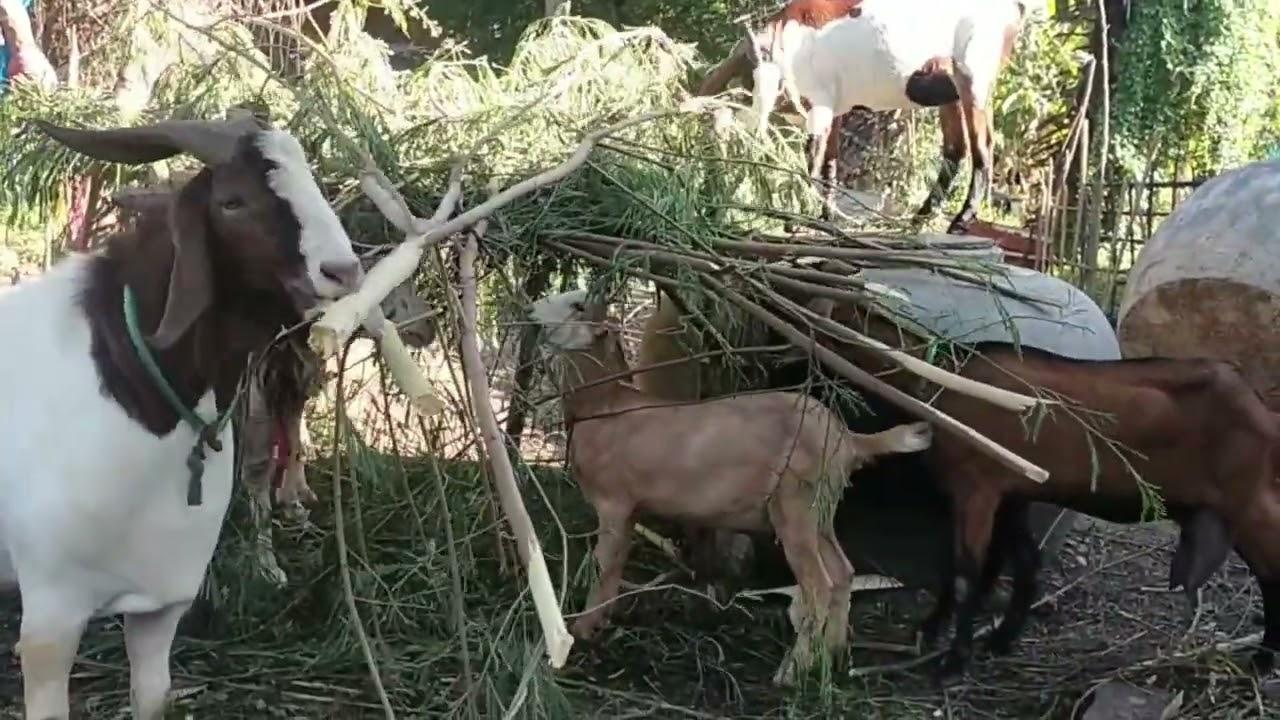 ตัดกระถินเลี้ยงแพะ! มือใหม่เลี้ยงแพะด้วยกระถิน ตัวอ้วนต้นทุนต่ำ พร้อมเคล็ดลับ - Goat feed cuts costs