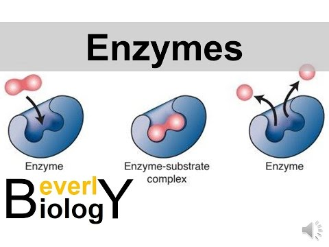 Enzymes and Catalysts