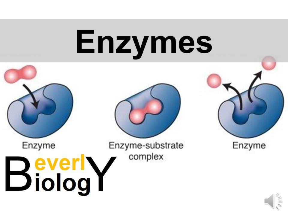 enzymes and catalysts youtube