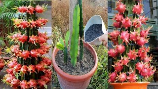 How to feed drągon fruit plants / How often to fertilize dragon fruit