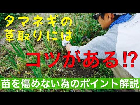 草生栽培のタマネギ、草取りのポイントについて【手入れ】2019年5月6日農業YouTuber