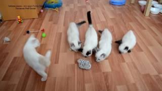 Как тайские котята воевали с игрушечной кошкой! Тайские кошки   это чудо! Funny Cats