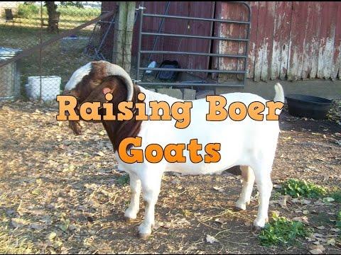 Information on raising boer goats