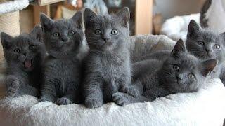 Шартрез - Котята Медвежата, Породы кошек