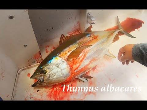 Highlights From A Yellowfin Tuna Battle - 9 Mile Bank - San Diego, CA