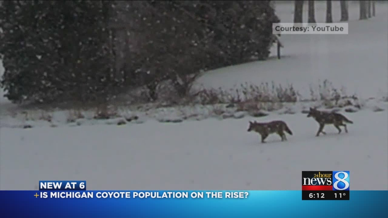 are there more coyotes in michigan youtube