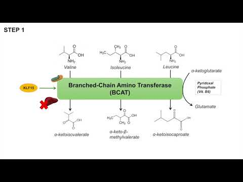Branched Chain Amino Acid Metabolism | BCAA Catabolism | Pathway and Regulation