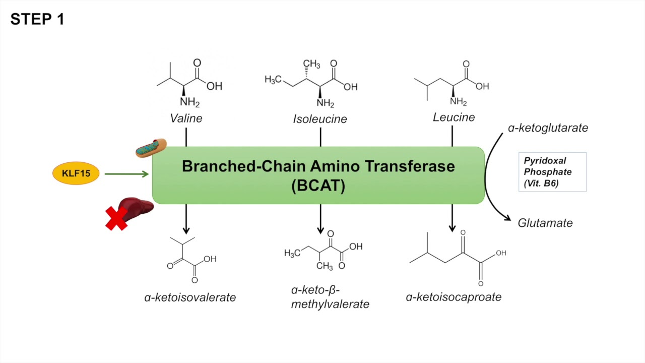 hight resolution of branched chain amino acid metabolism bcaa catabolism pathway and regulation