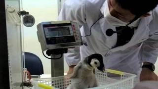 和歌山アドベンチャーワールドで、2011/10/18に生まれた、皇帝ペンギン...