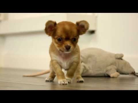 Unsere Chihuahua Welpen am spielen ...