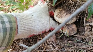 화창한 가을 날 통실한 하수오와 끝물 송이버섯 찾아 힐…