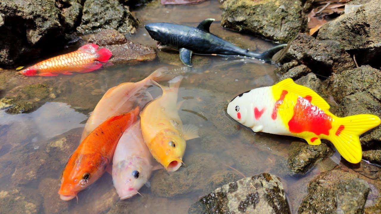 Download Menangkap Ikan Mas Warna Warni, Ikan Hias, Ikan koi, Ikan Hiu, Arwana, Ikan Koki, Ikan lele, Marlin