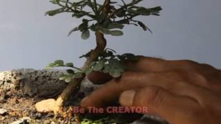 Wood apple bonsai, growing in trainee pot, Be the Creator, May 2017