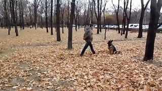 Немецкая овчарка : процесс обучения, мячик, парк, осень, Фея и я...