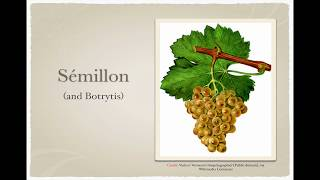 Winecast: Sémillon and Botrytis