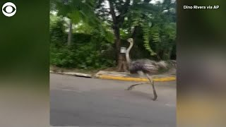 This ostrich was spotted running down a street in metro manila, philippines on tuesday. dino rivera captured the video and said people had also been trying t...