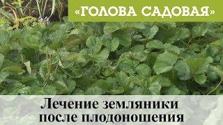 Голова садовая - Лечение земляники после плодоношения