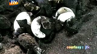 Proses Penyelamatan Telur Penyu yang menetas - JTV