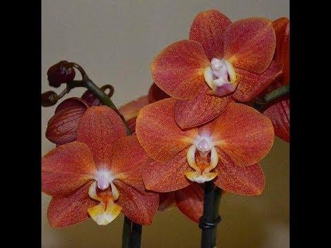 🌸Продажа орхидей по Украине. Отправка в любую точку. (завоз 10 мая 19 г.) ЗАМЕЧТАТЕЛЬНЫЕ КРАСОТКИ