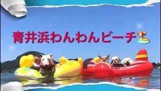 青井浜わんわんビーチへ     お友達のパチョリ&ケッパー&ぐみを誘って...