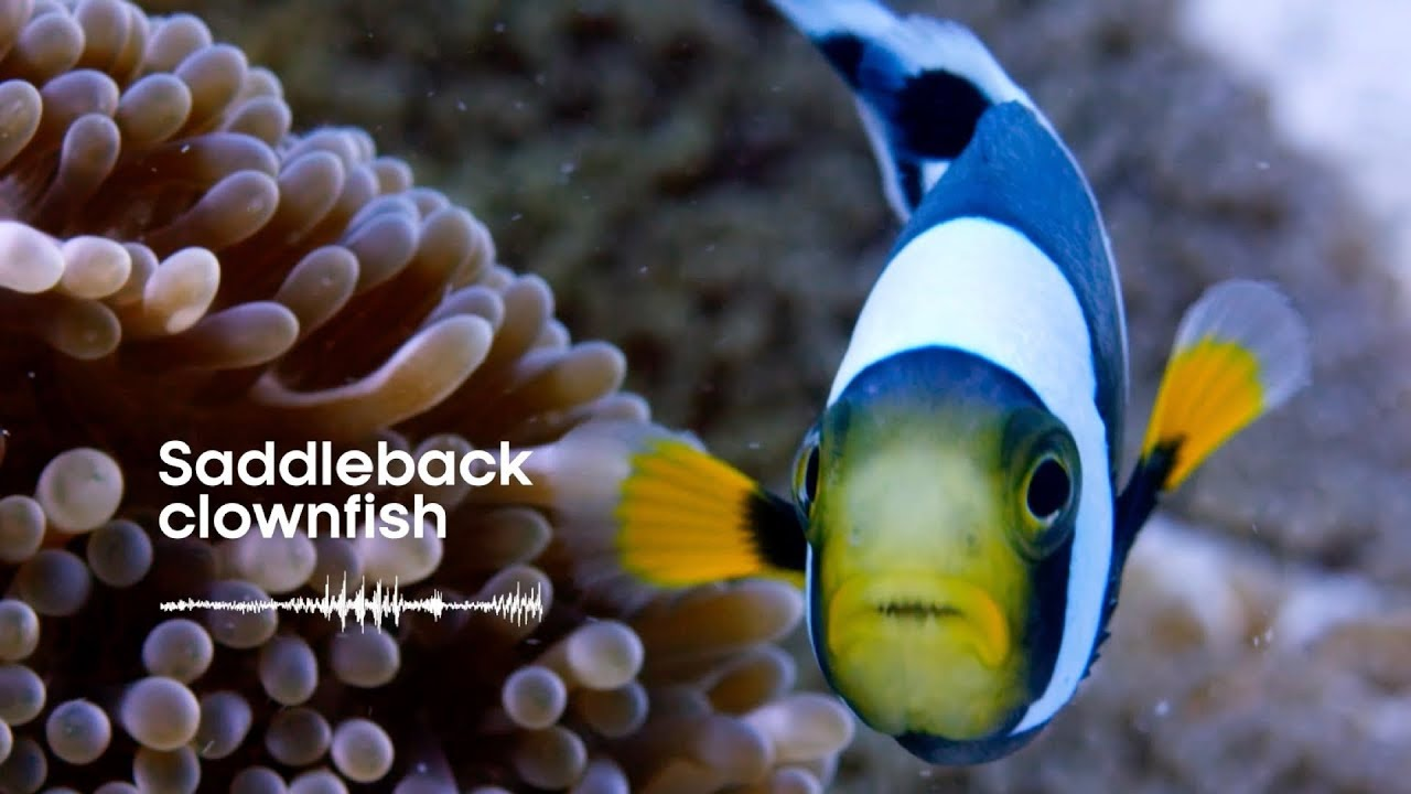 Fish Sounds: Do fish talk to each other? | Earth Unplugged