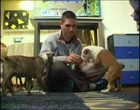 American Staffordshire terrier iron amstaff
