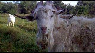 видео Сколько молока дает коза в сутки?
