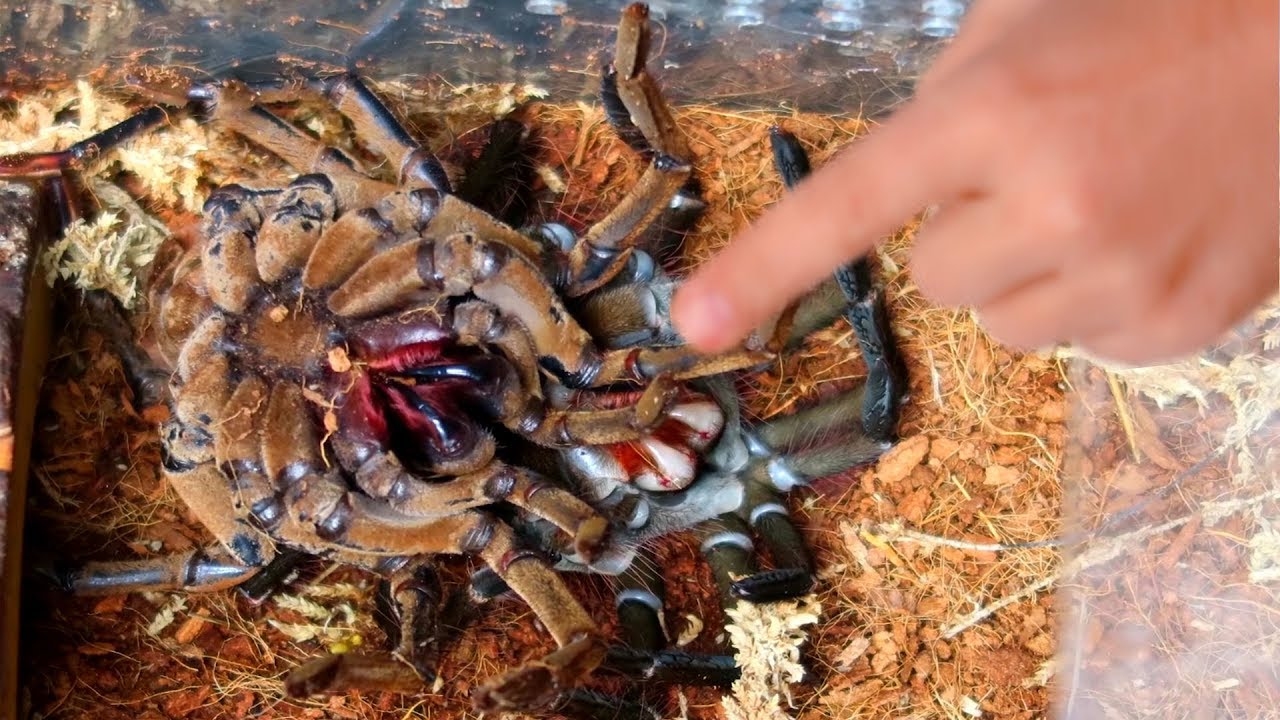 Download WORLDS LARGEST TARANTULA MOLTING!! RARE AND CREEPY!!   BRIAN BARCZYK
