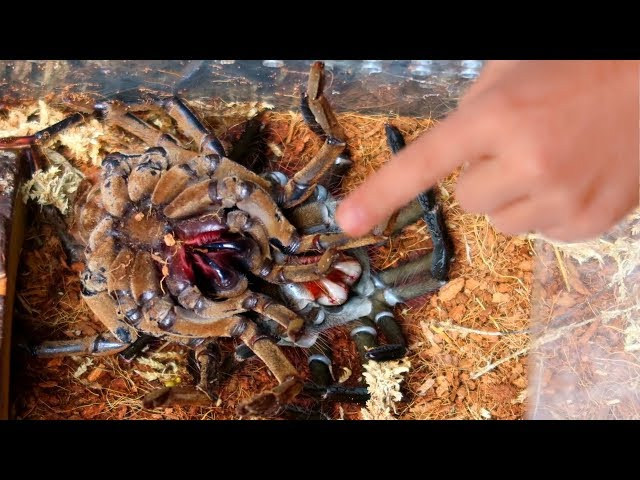 WORLDS LARGEST TARANTULA MOLTING!! RARE AND CREEPY!! | BRIAN BARCZYK