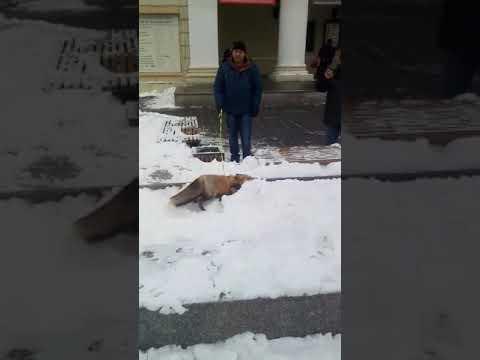 В центре Воронежа выгуливают лису