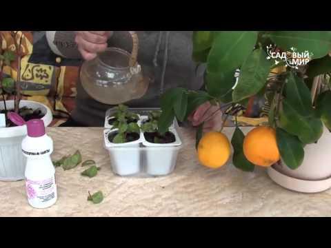 Защита цветов от болезней  Фитоспорин М цветы